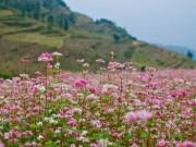 Du lịch - Xín Mần mùa hoa tam giác mạch