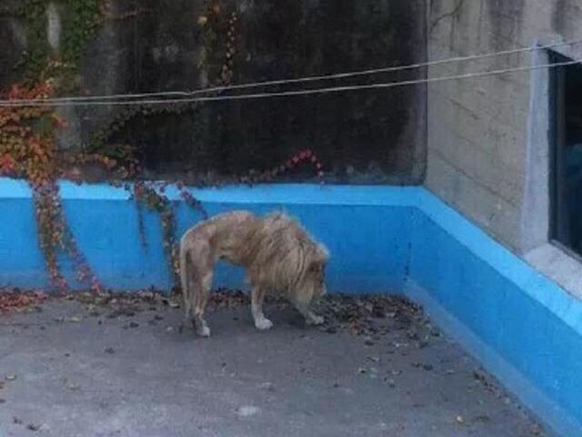 TQ: Sư tử bị bỏ đói gầy thê thảm ở vườn thú Bắc Kinh - 1