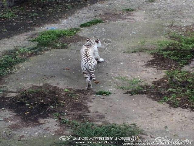 TQ: Sư tử bị bỏ đói gầy thê thảm ở vườn thú Bắc Kinh - 2