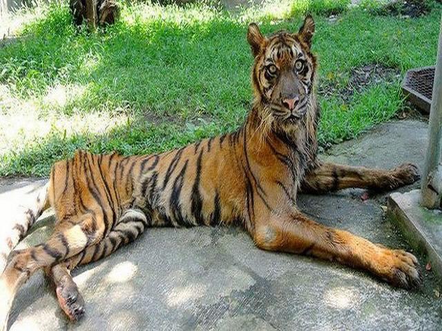 TQ: Sư tử bị bỏ đói gầy thê thảm ở vườn thú Bắc Kinh - 3