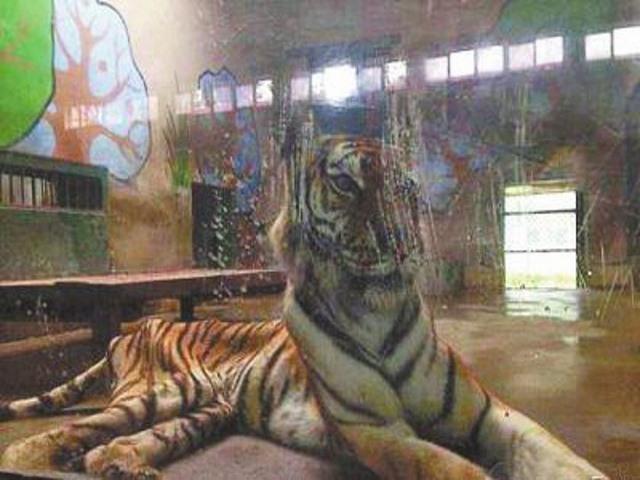 TQ: Sư tử bị bỏ đói gầy thê thảm ở vườn thú Bắc Kinh - 4