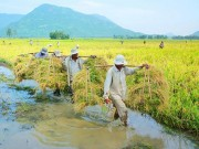 Thị trường - Tiêu dùng - Loay hoay xây dựng thương hiệu gạo Việt