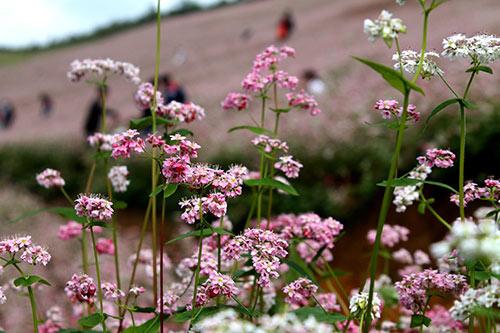 Khám phá những vùng hoa tam giác mạch đẹp nhất Việt Nam - 2