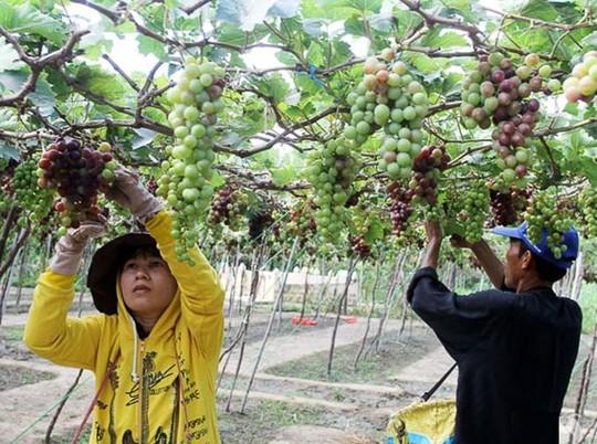 Ninh Thuận: Người trồng nho không có lãi - 1