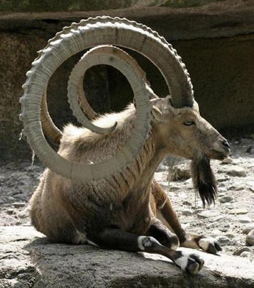 5 loài động vật có cặp sừng đáng sợ nhất - 5