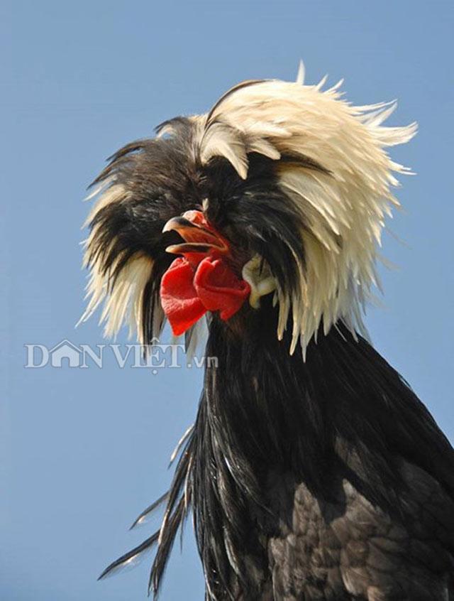 Chiêm ngưỡng gà đẹp nhất thế giới mới vào VN - 1