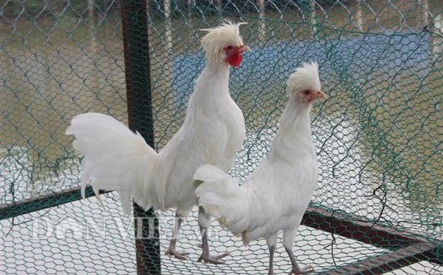 Chiêm ngưỡng gà đẹp nhất thế giới mới vào VN - 3