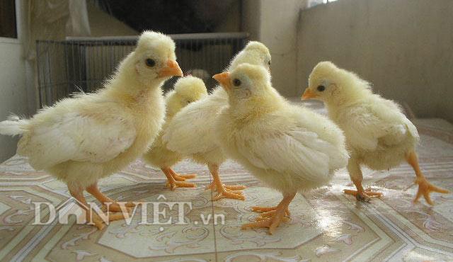Chiêm ngưỡng gà đẹp nhất thế giới mới vào VN - 6