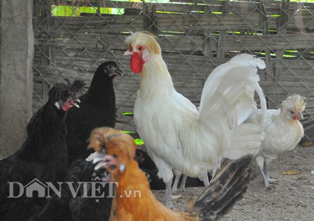 Chiêm ngưỡng gà đẹp nhất thế giới mới vào VN - 9