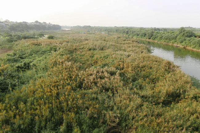 Ảnh: Mùa cỏ lau thơ mộng dưới chân cầu Long Biên - 1