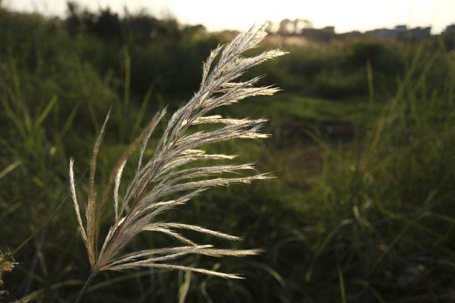 Ảnh: Mùa cỏ lau thơ mộng dưới chân cầu Long Biên - 4