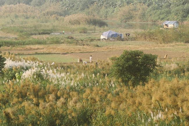 Ảnh: Mùa cỏ lau thơ mộng dưới chân cầu Long Biên - 5