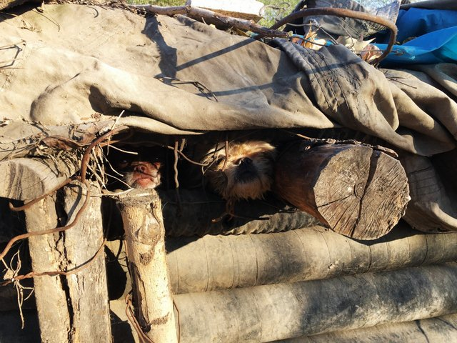 TQ: Ông lão vô gia cư sống cùng 40 chú chó hoang - 4