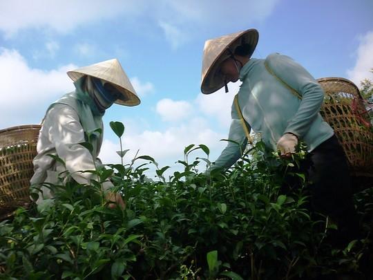 """Lâm Đồng """"cầu cứu"""" Hiệp hội Chè Việt Nam - 1"""