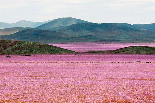 Cánh đồng hoa bất ngờ nở rộ giữa sa mạc khô hạn - 1