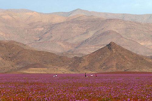 Cánh đồng hoa bất ngờ nở rộ giữa sa mạc khô hạn - 2