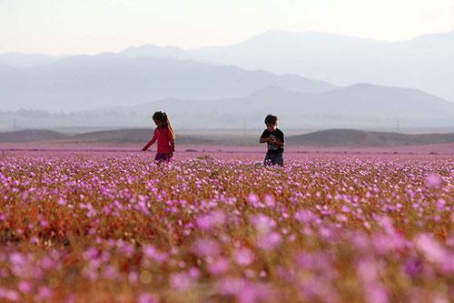 Cánh đồng hoa bất ngờ nở rộ giữa sa mạc khô hạn - 3