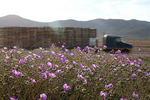 Cánh đồng hoa bất ngờ nở rộ giữa sa mạc khô hạn - 4
