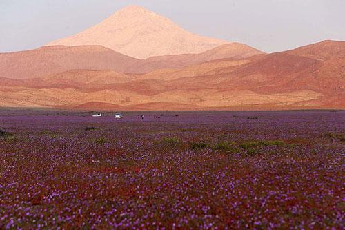 Cánh đồng hoa bất ngờ nở rộ giữa sa mạc khô hạn - 5
