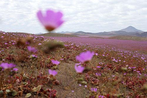 Cánh đồng hoa bất ngờ nở rộ giữa sa mạc khô hạn - 6
