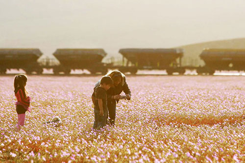 Cánh đồng hoa bất ngờ nở rộ giữa sa mạc khô hạn - 7