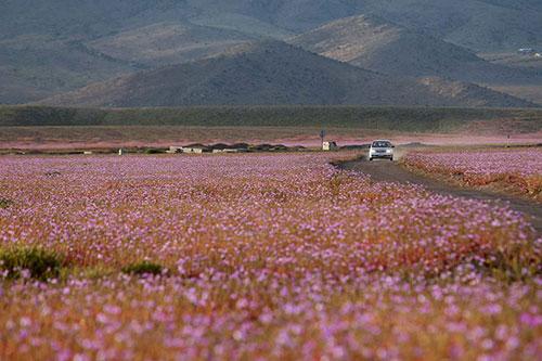Cánh đồng hoa bất ngờ nở rộ giữa sa mạc khô hạn - 8
