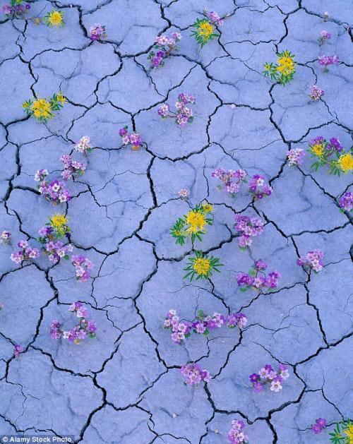 Hàng triệu bông hoa sống dậy ở sa mạc khô cằn nhất TG - 6