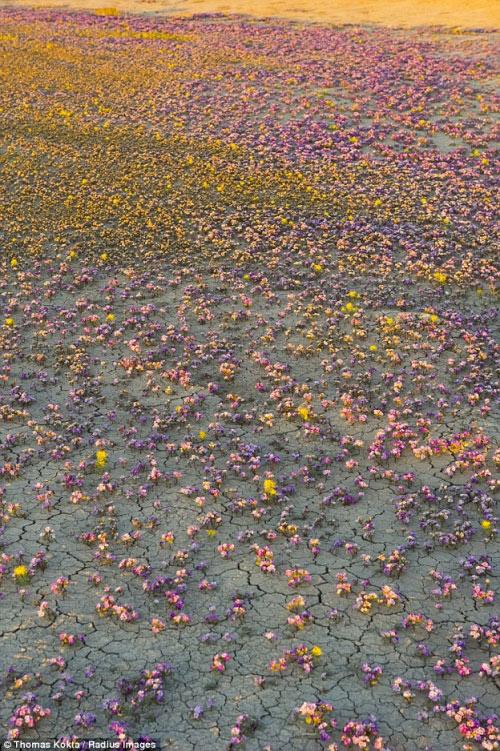 Hàng triệu bông hoa sống dậy ở sa mạc khô cằn nhất TG - 8
