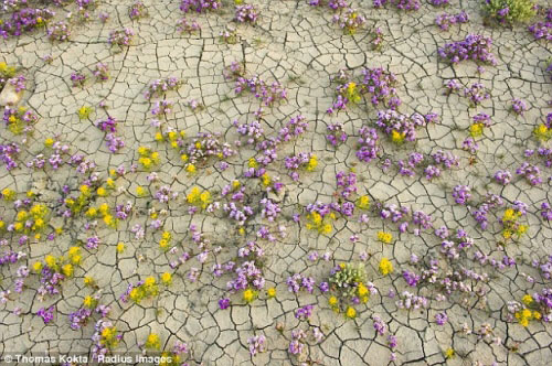 Hàng triệu bông hoa sống dậy ở sa mạc khô cằn nhất TG - 9