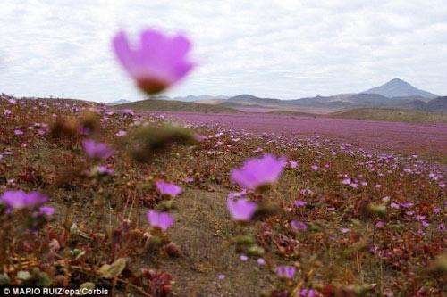 Hàng triệu bông hoa sống dậy ở sa mạc khô cằn nhất TG - 4