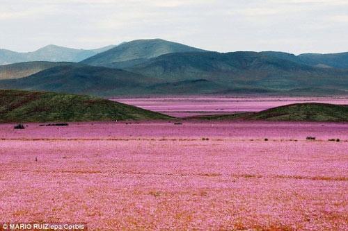 Hàng triệu bông hoa sống dậy ở sa mạc khô cằn nhất TG - 2
