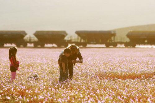 Hàng triệu bông hoa sống dậy ở sa mạc khô cằn nhất TG - 5