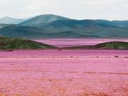 Chuyện lạ - Cánh đồng hoa bất ngờ nở rộ giữa sa mạc khô hạn
