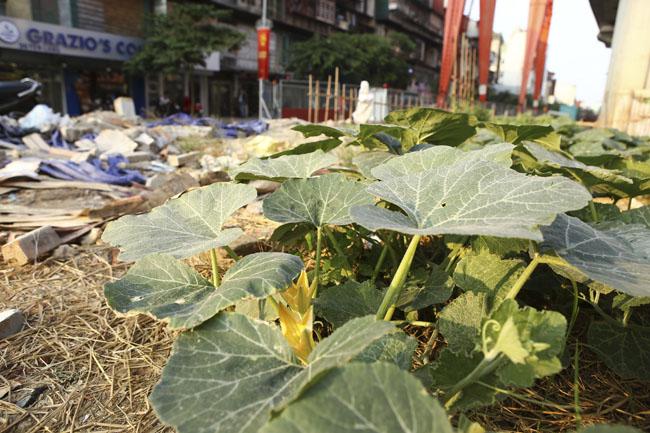 """HN: """"Quây rào, phân lô"""" trồng rau dưới đường sắt trên cao - 10"""
