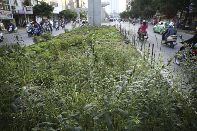 """HN: """"Quây rào, phân lô"""" trồng rau dưới đường sắt trên cao - 11"""