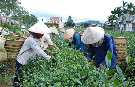 """Đài Loan """"dội gáo nước lạnh"""", thị trường trà Việt lao đao - 1"""