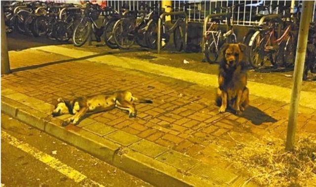 Chú chó suốt đêm bảo vệ xác bạn bị xe cán chết - 1
