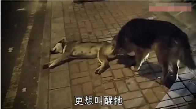 Chú chó suốt đêm bảo vệ xác bạn bị xe cán chết - 2