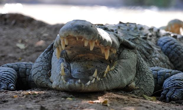 Indonesia dùng cá sấu canh giữ nhà tù - 1