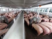 Thị trường - Tiêu dùng - Thịt heo vừa ngon và sạch