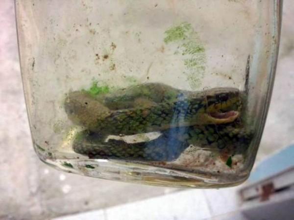 Bé trai 1 tuổi rưỡi cắn chết rắn lục cực độc - 2