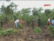 """Video An ninh - """"Thuật ngụy trang"""" của dân trồng cần sa"""