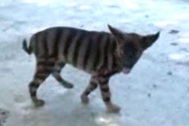 Kỳ lạ: Con vật có lông giống hổ, sủa như chó - 2