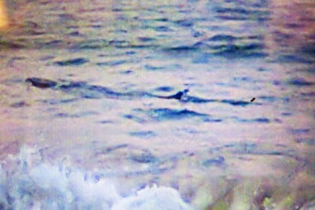 """Ngư dân """"nhận dạng"""" cá lạ khổng lồ bơi dọc biển Tuy Hòa - 1"""