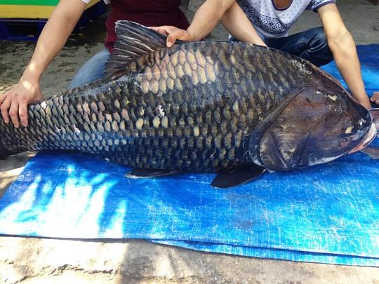 """Bắt được cặp cá hô """"khủng"""" nặng 240 kg - 1"""