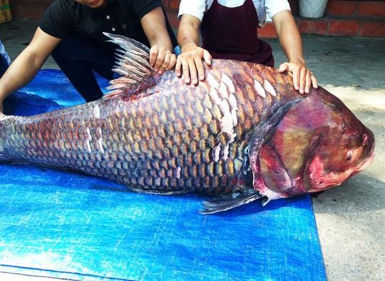 """Bắt được cặp cá hô """"khủng"""" nặng 240 kg - 2"""