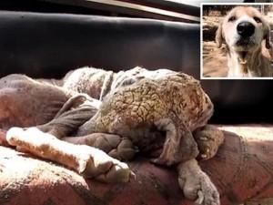 """Bạn trẻ - Cuộc sống - Clip: Giải cứu chú chó đáng thương có lông bị """"hóa đá"""""""