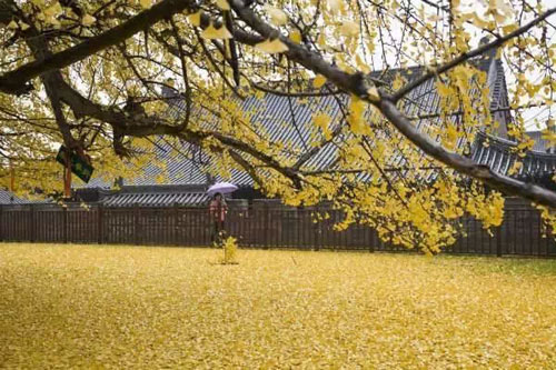"""Cây ngân hạnh 1.400 tuổi đẹp """"rụng rời"""" vào mùa rụng lá - 5"""