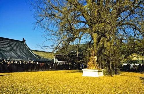"""Cây ngân hạnh 1.400 tuổi đẹp """"rụng rời"""" vào mùa rụng lá - 9"""