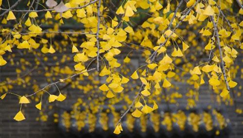 """Cây ngân hạnh 1.400 tuổi đẹp """"rụng rời"""" vào mùa rụng lá - 12"""